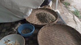 Bejaarde gietende arabica koffiebonen van de zak in de ronde rieten dorsende mand of bamboezeef voor stock video