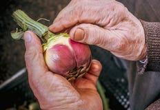Bejaarde landbouwershanden die ruw voedsel voorbereiden royalty-vrije stock afbeelding