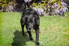 Bejaarde Zwarte Labrador kruipende inhunting houding op grasss Royalty-vrije Stock Afbeeldingen