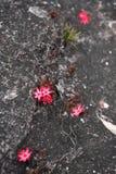 Bejaria imthurnii (Ericaceae) Stock Images