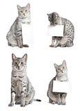 Bekanntmachen der ägyptischen mau Katzen Lizenzfreie Stockfotografie