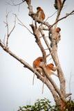 Bekantan, длинная обнюханная обезьяна от Борнео Стоковые Фото