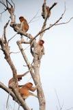 Bekantan, длинная обнюханная обезьяна от Борнео Стоковые Изображения