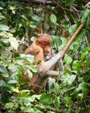 Bekantan, длинная обнюханная обезьяна от Борнео Стоковое Изображение RF