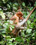 Bekantan, длинная обнюханная обезьяна от Борнео Стоковое Изображение