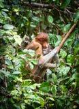 Bekantan, длинная обнюханная обезьяна от Борнео Стоковые Фотографии RF