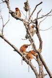Bekantan, langnasiger Affe von Borneo Lizenzfreies Stockbild