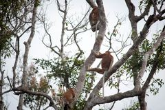 Bekantan, langnasiger Affe von Borneo Stockbild
