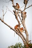 Bekantan, langnasiger Affe von Borneo Stockfotos