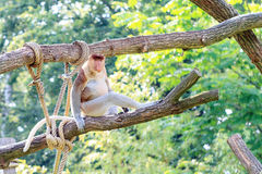Bekantan monkey Royalty Free Stock Photos