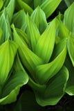 Bekervormige bladeren Stock Foto