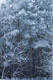 Bekgraund cold winter snow forest Royalty Free Stock Images