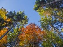 Bekijk omhoog kleurrijke lange de bomenkronen van de de herfstkleur en blauwe hemel Stock Foto's