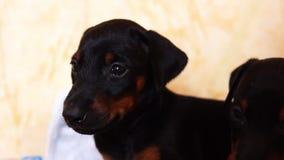 Bekijkt twee mooie puppy van het doberman ras de camera stock videobeelden