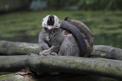 beklädd lemur rött gäspa Arkivfoto