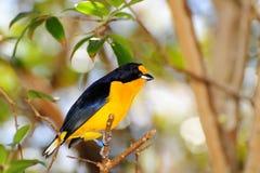 beklädd sammet för fågel euphonia royaltyfri fotografi