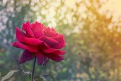 Beklagande och röd rosbakgrund för sympati arkivbild
