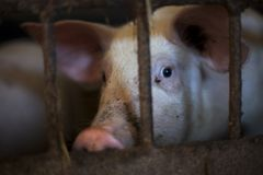 beklagenswaardig varken in klein kooiwachten dat, in donkere toon moet worden gedood stock fotografie