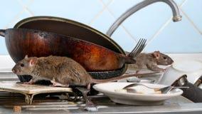 Beklimt jonge rat twee op vuile schotels in de keukengootsteen twee oud pannen en aardewerk royalty-vrije stock afbeelding