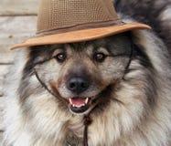 Beko. Keeshond dog wearing an Aussie hat Royalty Free Stock Image
