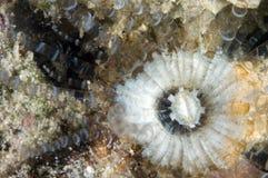 Bekorken Sie Schrauben-Seeanemone Stockbilder