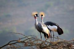 Bekroond Crane Couple Royalty-vrije Stock Fotografie