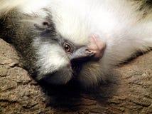 Bekroonde Guenon van het grijs Stock Afbeeldingen
