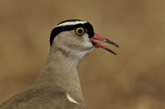 Bekroonde Kievit (Vanellus-coronatus) royalty-vrije stock afbeelding