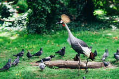 Bekroonde Kraan Gang rond de dierentuin met exotische dieren en vogels Royalty-vrije Stock Foto