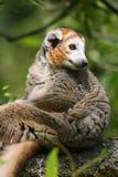 Bekroonde maki (coronatus Eulemur) Stock Fotografie