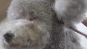 Bekwaam huisdier die groomer aan pluizig weinig leuk hondkapsel met schaar op snuit maken Langzame Motie stock videobeelden