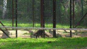 Bekymrat tvättbjörndjur som går i zooträdgårdbur stock video