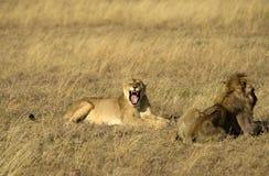 Belägen mitt emot kamera för lejoninna med den öppna munnen Royaltyfri Foto