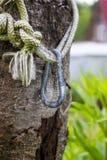 Belägga med metall carabiner på ett rep med fnuren, på ett träd Arkivfoto