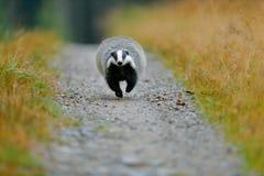 Belästigen Sie laufenden Waldweg, Tiernaturlebensraum, Deutschland, Europa Szene der wild lebenden Tiere Wilder Dachs, Meles Mele lizenzfreies stockbild