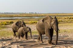 Bel éléphant en parc national de Chobe au Botswana Photo stock