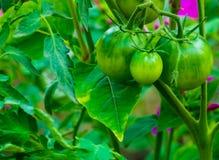 Bel élevage vert de tomates Photographie stock libre de droits
