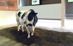 Bel éleveur de bétail se tenant sur le monticule Photo stock