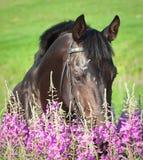 Bel étalon noir en fleur images stock