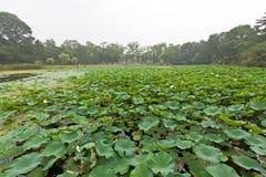 Bel étang de Lotus dans le jardin antique Photographie stock