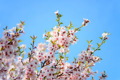 Bel abricotier de floraison Photos libres de droits