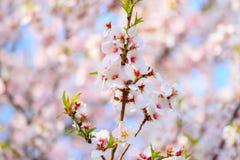 Bel abricotier de floraison Image stock