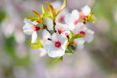 Bel abricotier de floraison Image libre de droits