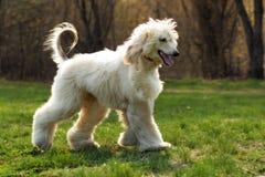 Bel Afghan de race de chien hirsute pendant l'été Photographie stock