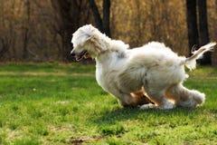Bel Afghan de race de chien hirsute pendant l'été gambadant sur le Th Images libres de droits