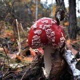 Bel agaric de mouche rouge repéré en clairière de forêt Photographie stock