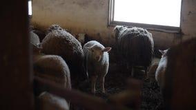 Bel agneau doux regardant la caméra Troupeau de moutons Dity agnelle et des moutons dans une écurie Moutons dans la grange clips vidéos