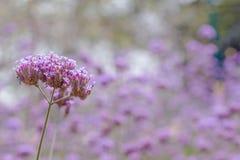 Bel allium pourpre de floraison Image stock