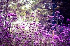 Bel allium pourpre de floraison Images libres de droits
