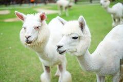 Bel alpaga blanc dans le domaine d'herbe pour le fond animal Photo stock